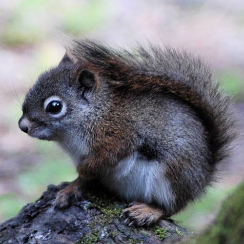 Baby Animals answer: RED SQUIRREL