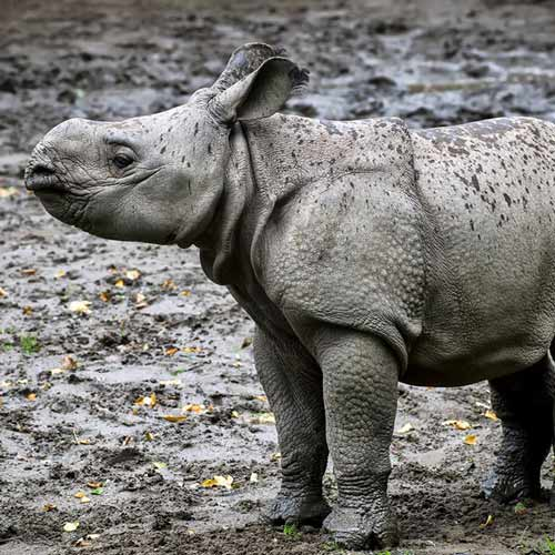 Baby Animals answer: RHINO
