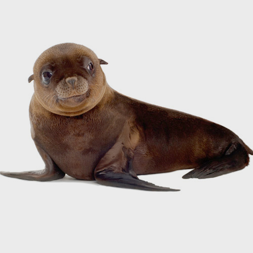 Baby Animals answer: SEA LION
