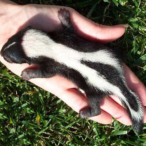 Baby Animals answer: SKUNK