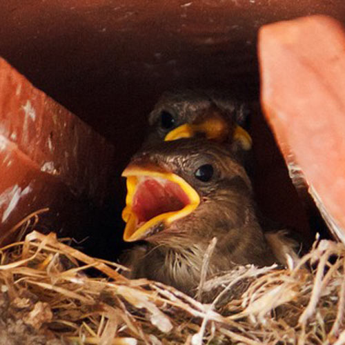 Baby Animals answer: SPARROW
