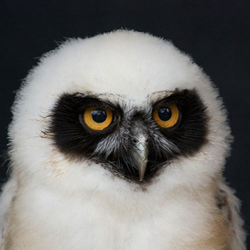 Baby Animals answer: SPECTACLED OWL