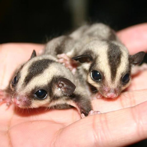 Baby Animals answer: SUGAR GLIDERS