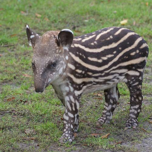 Baby Animals answer: TAPIR