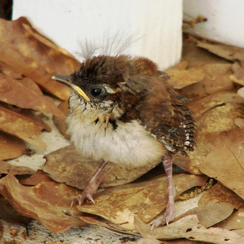 Baby Animals answer: WREN