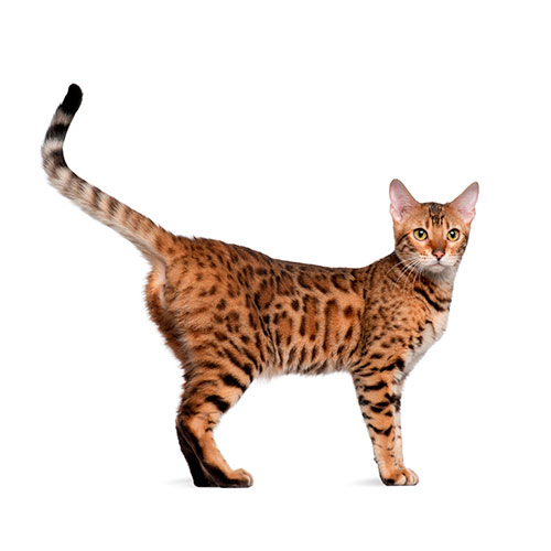 Cats answer: BENGAL