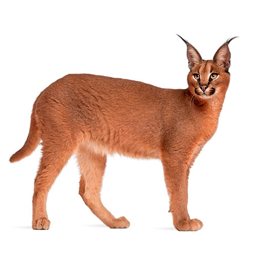 Cats answer: CARACAL