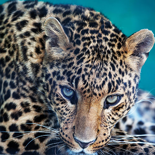 Cats answer: LEOPARD
