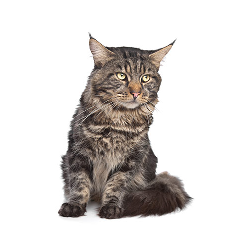 Cats answer: MAINE COON