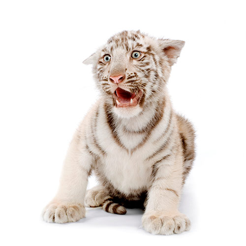 Cats answer: WHITE TIGER