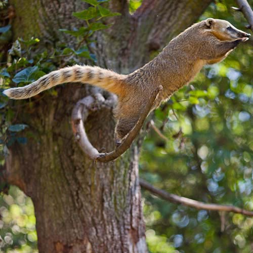 C is for... answer: COATI