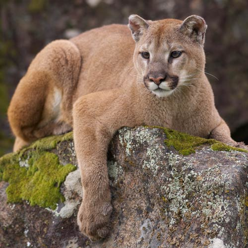 C is for... answer: COUGAR