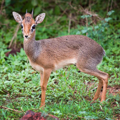 D is for... answer: DIK-DIK