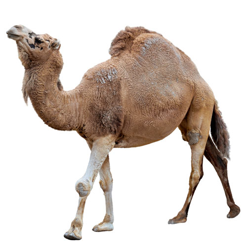 D is for... answer: DROMEDARY