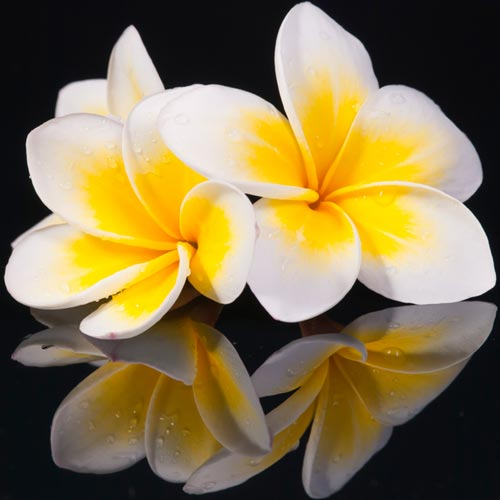 F is for... answer: FRANGIPANI