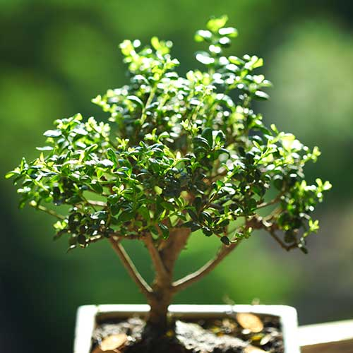 Gardening answer: BONSAI