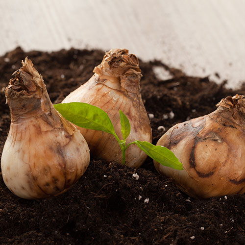 Gardening answer: BULBS