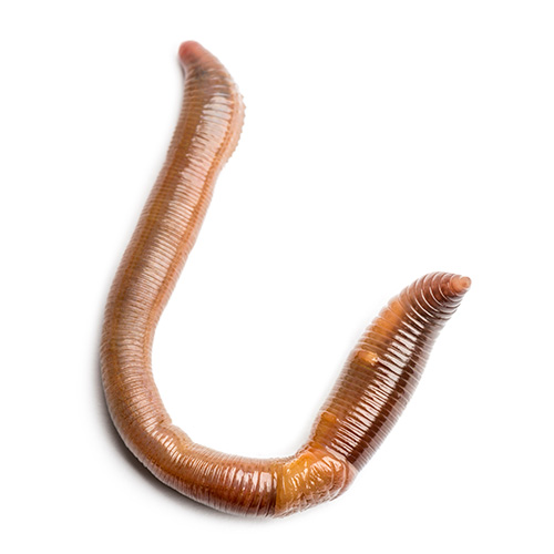 Gardening answer: EARTHWORM