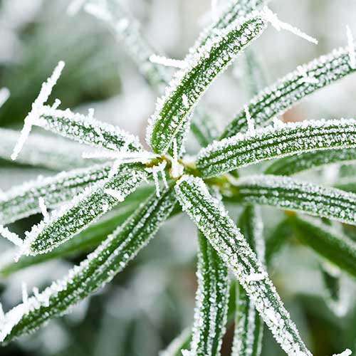Gardening answer: FROST