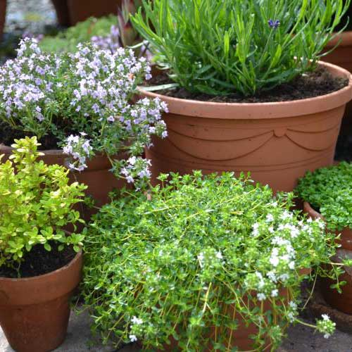 Gardening answer: HERBS