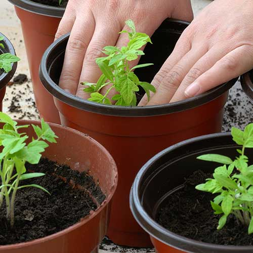Gardening answer: POTTING UP