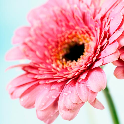 G is for... answer: GERBERA