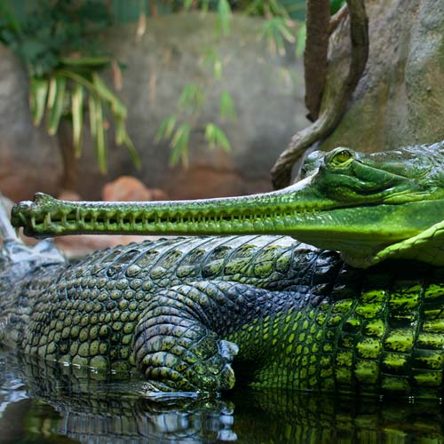 G is for... answer: GHARIAL