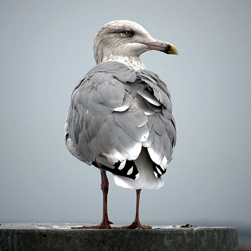 G is for... answer: GULL
