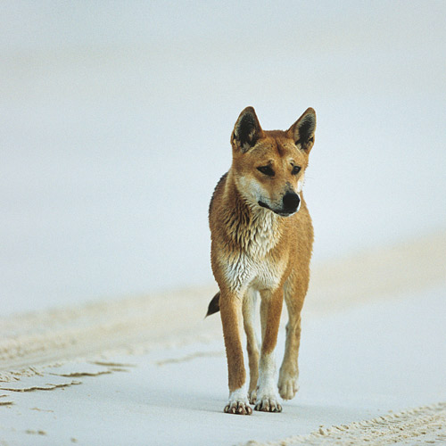 I ♥ Australia answer: DINGO