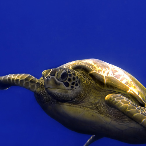 I ♥ Australia answer: GREEN TURTLE