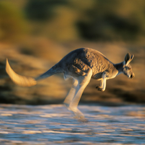 I ♥ Australia answer: KANGAROO