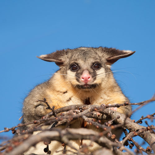 I ♥ Australia answer: POSSUM