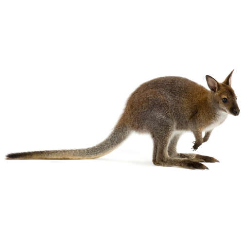 I ♥ Australia answer: WALLABY