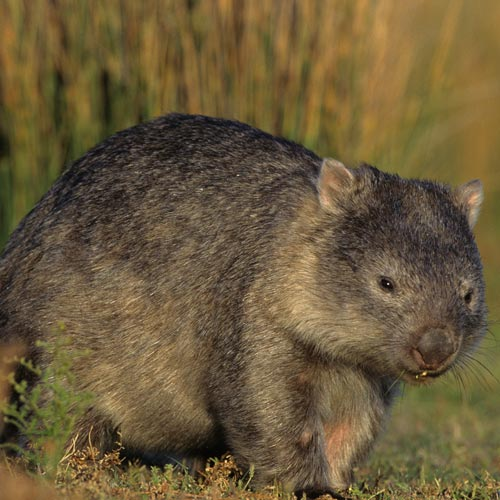I ♥ Australia answer: WOMBAT