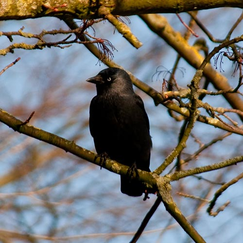 J is for... answer: JACKDAW