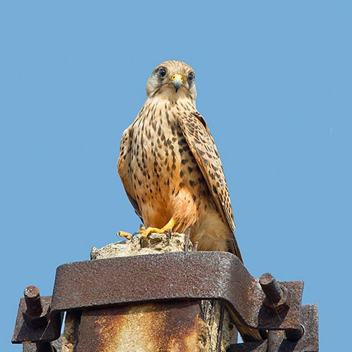 K is for... answer: KESTREL