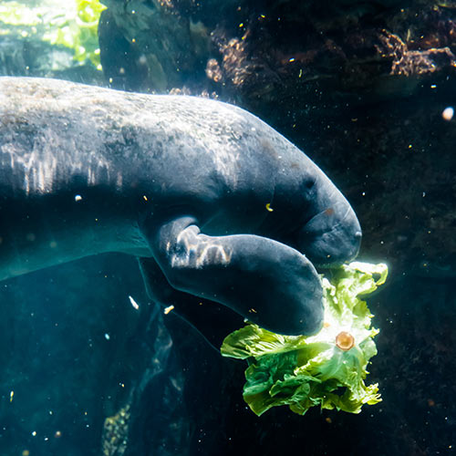 M is for... answer: MANATEE