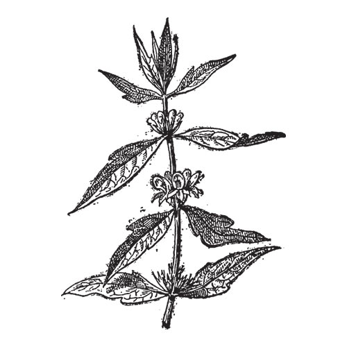 M is for... answer: MOTHERWORT