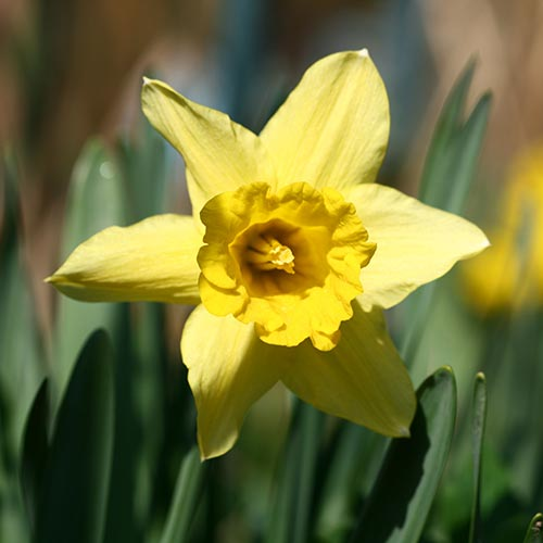 N is for... answer: NARCISSUS