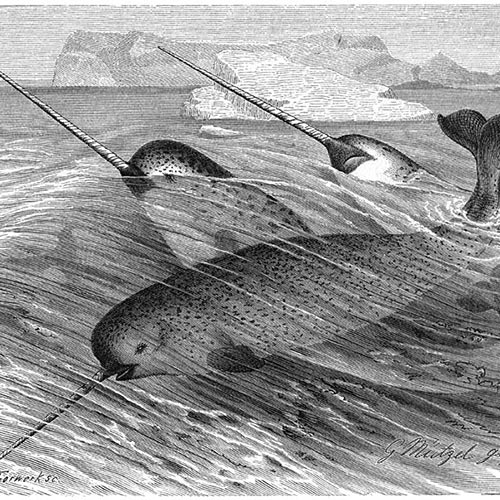 N is for... answer: NARWHAL
