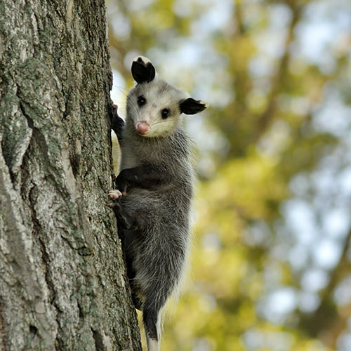 O is for... answer: OPOSSUM