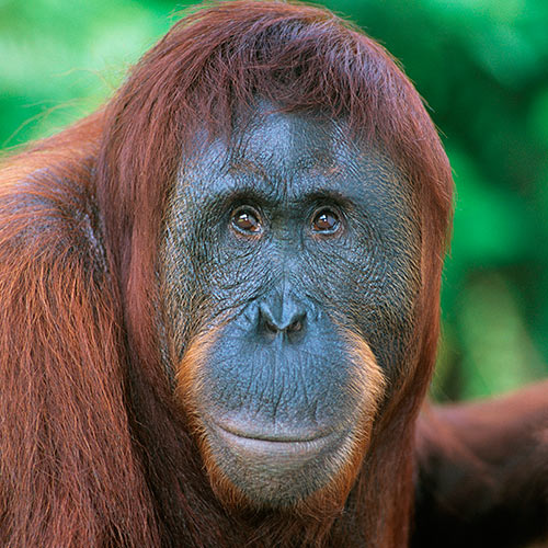 O is for... answer: ORANGUTAN