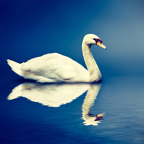 One-Something answer: SWAN