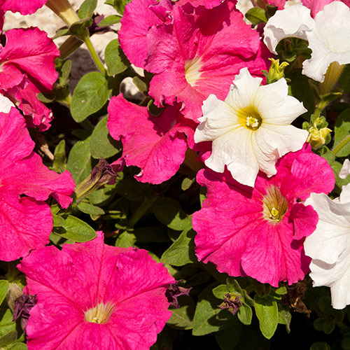 P is for... answer: PETUNIAS