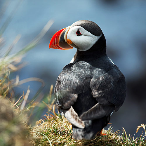 P is for... answer: PUFFIN