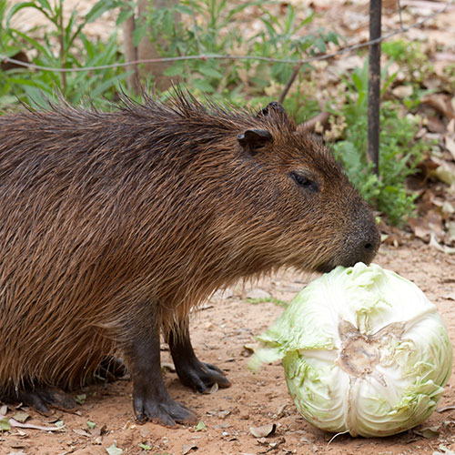 Plume Poil Bulle answer: CAPYBARA