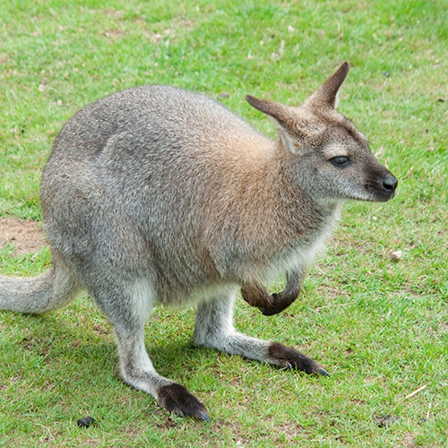 Plume Poil Bulle answer: WALLABY