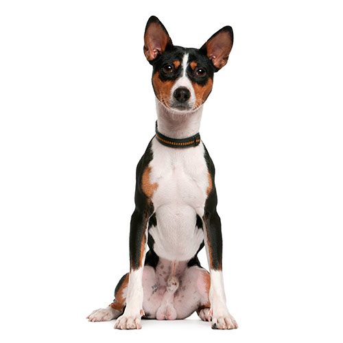 Races de chiens answer: BASENJI