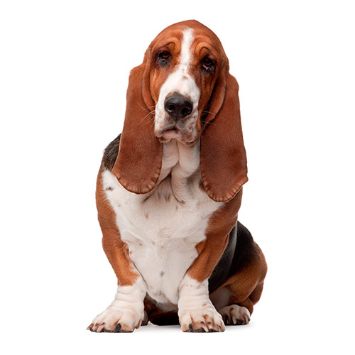 Races de chiens answer: BASSET