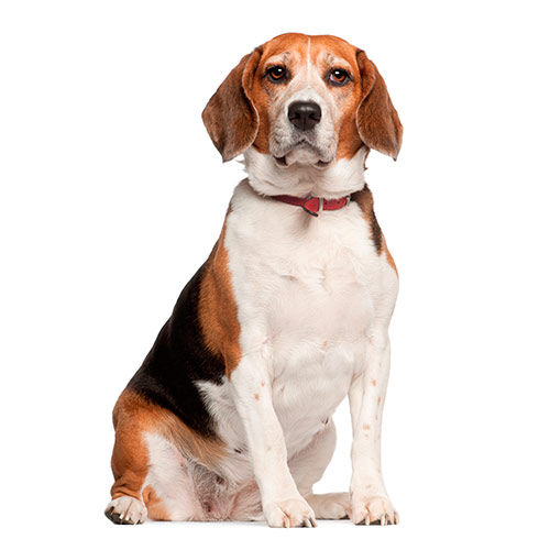 Races de chiens answer: BEAGLE